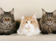 Gatto_Maine_Coon_Animali_Pucciosi