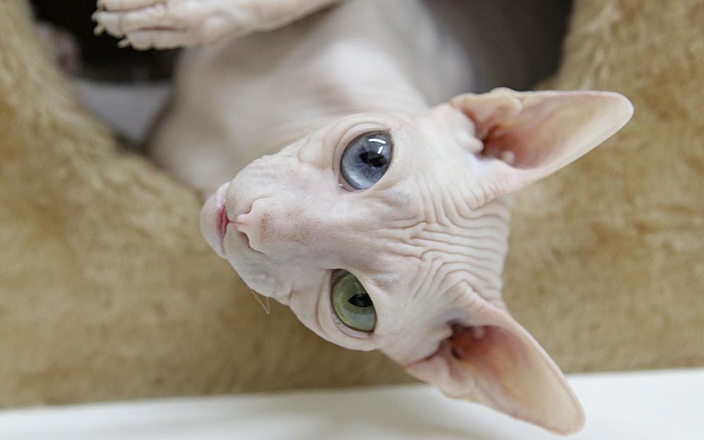 Il gatto sphynx nude look felino animali pucciosi for Animali pucciosi
