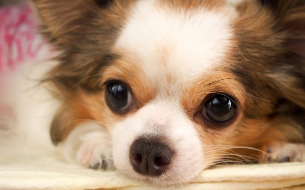 Chihuahua il topocane delle star di hollywood animali for Animali pucciosi