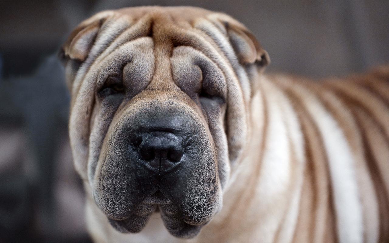 Shar pei: un cane nato con le rughe!
