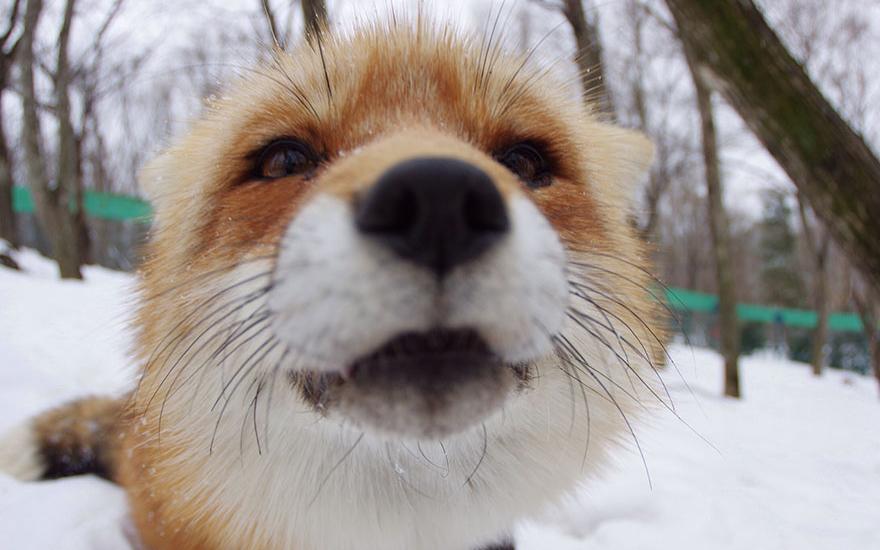 Un villaggio delle volpi in giappone realt animali for Animali pucciosi