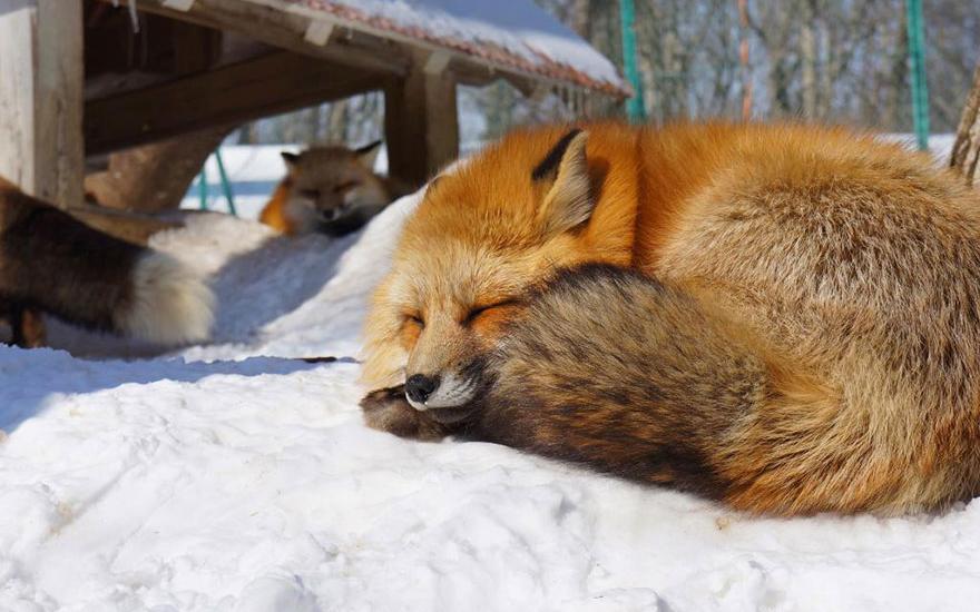 villaggio-delle-volpi_giappone_zao-fox-village_animali-pucciosi_01