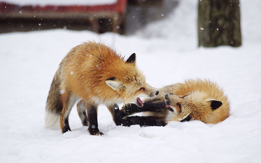 villaggio-delle-volpi_giappone_zao-fox-village_animali-pucciosi_02