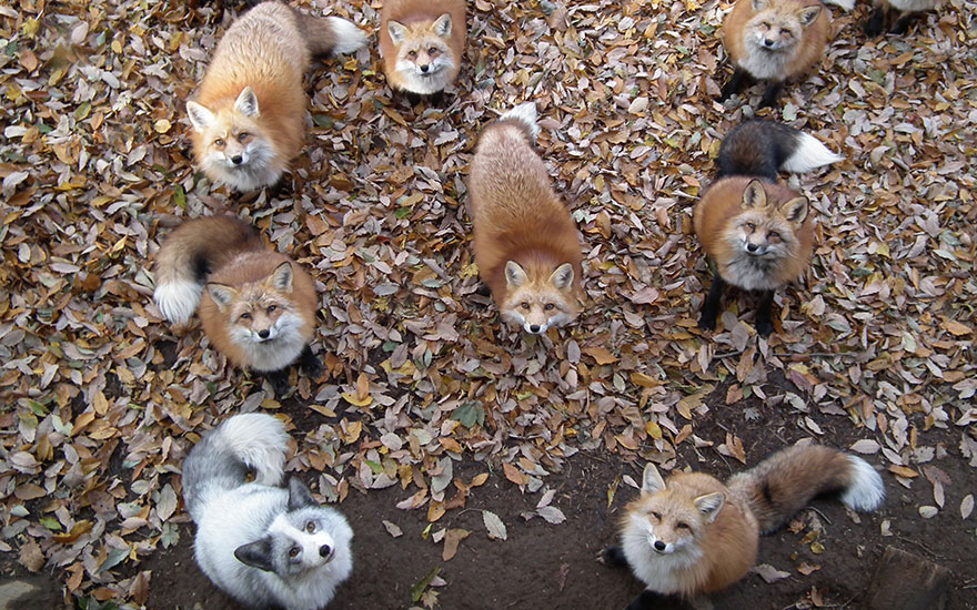 villaggio-delle-volpi_giappone_zao-fox-village_animali-pucciosi_03