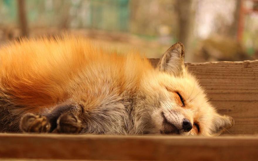 villaggio-delle-volpi_giappone_zao-fox-village_animali-pucciosi_04