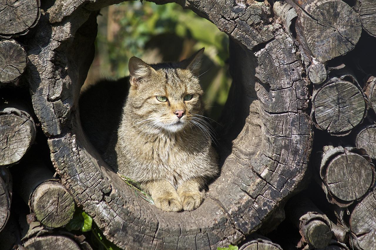 Parco_nazionale_pollino_animali_pucciosi_gatto_selvatico