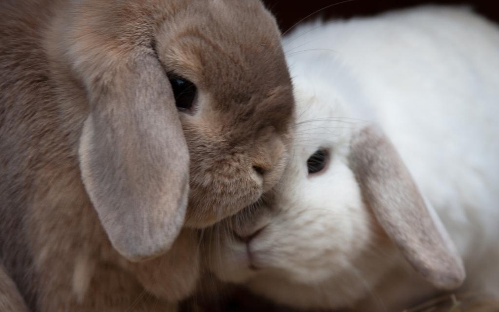 cura-dei-conigli_animali-pucciosi-coniglio-nano_01
