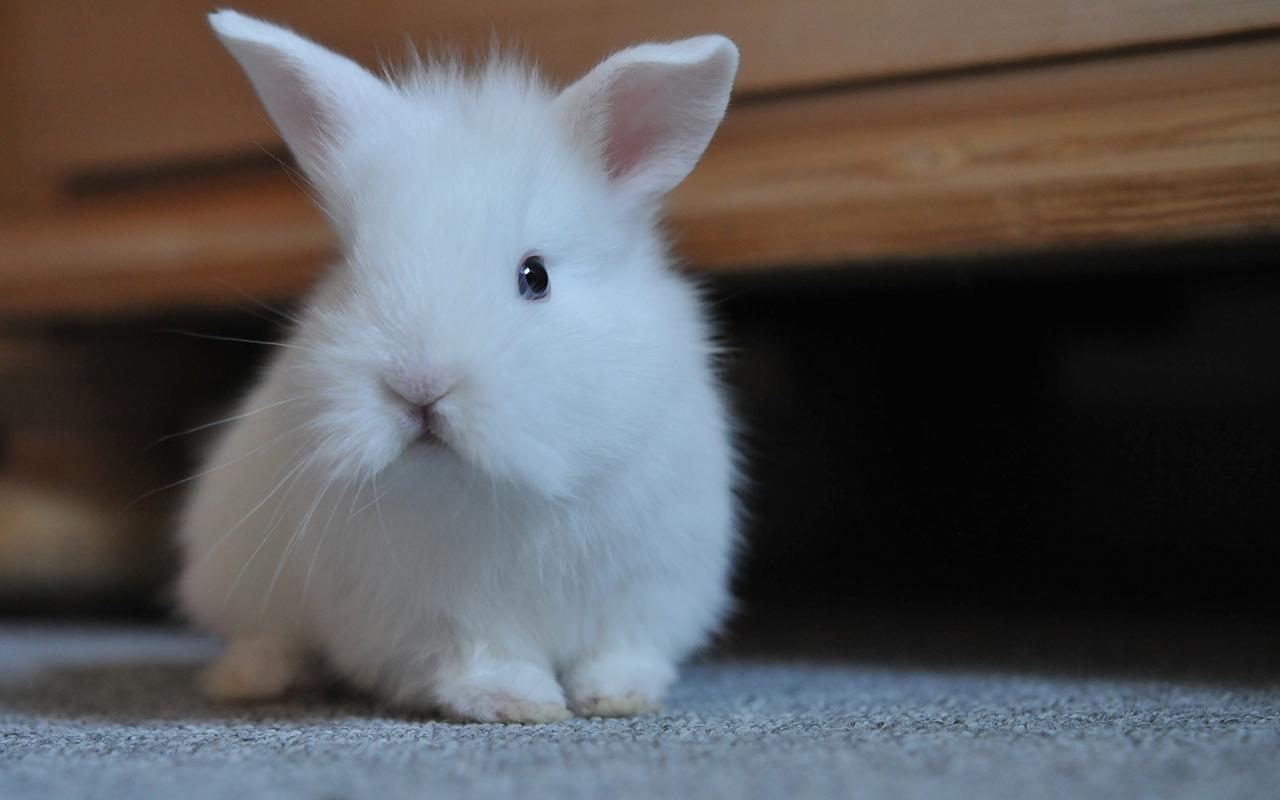 Razze conigli le 10 pi pucciose che esistono animali for Animali pucciosi