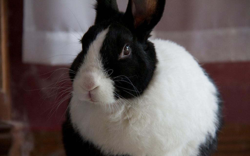 Razze conigli animali pucciosi 07 animali pucciosi for Animali pucciosi