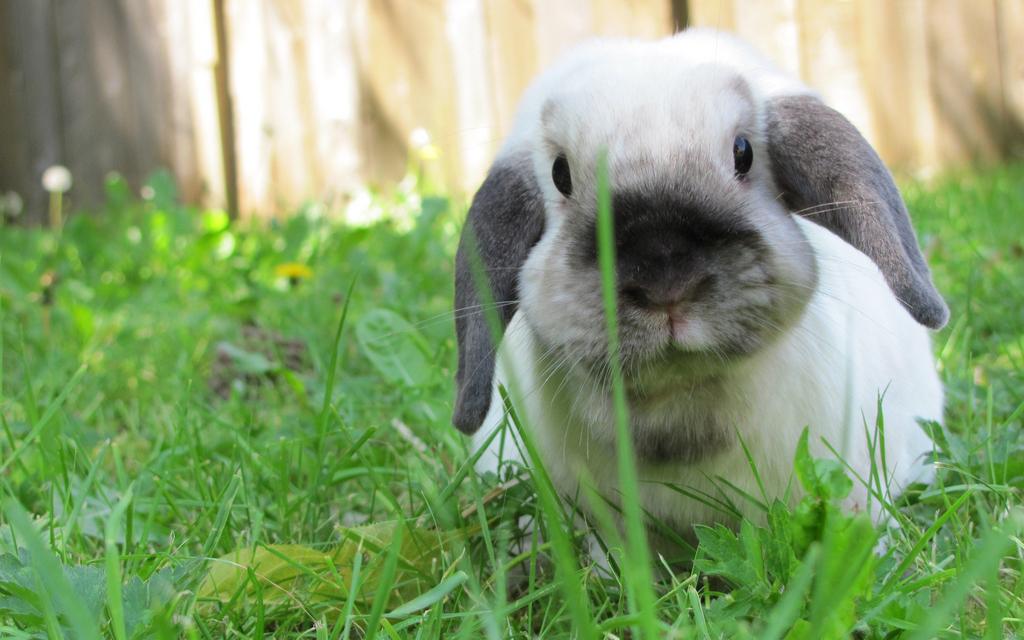 Razze conigli animali pucciosi 08 animali pucciosi for Animali pucciosi