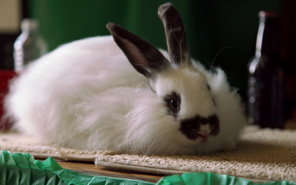 Razze conigli animali pucciosi 09 animali pucciosi for Animali pucciosi