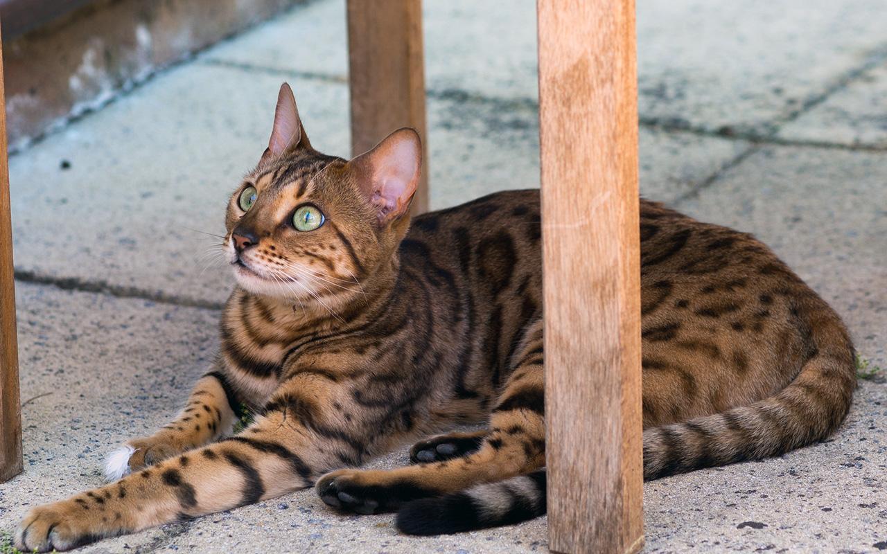 Gatti strani le 10 razze pi particolari animali pucciosi for Animali pucciosi