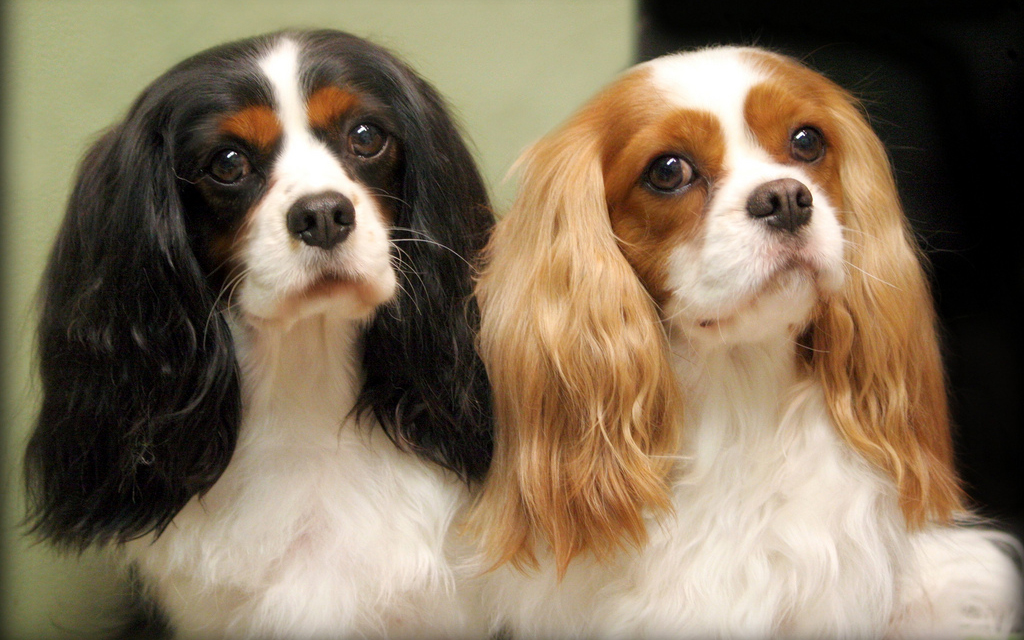 National Dog Show Breed Results