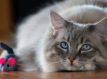 Il gatto Ragdoll: gigante buono tra i felini