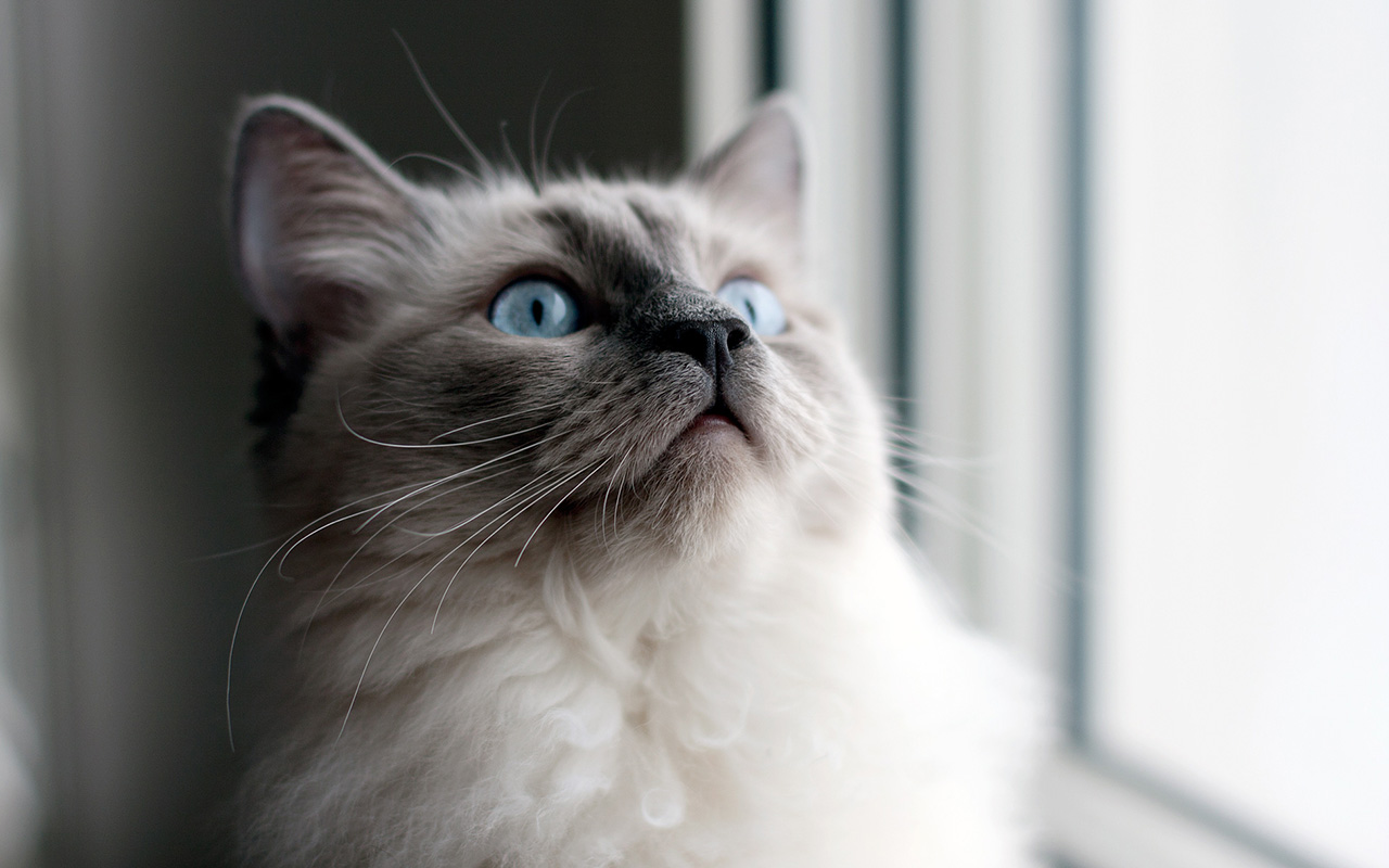Il gatto Ragdoll: giga...