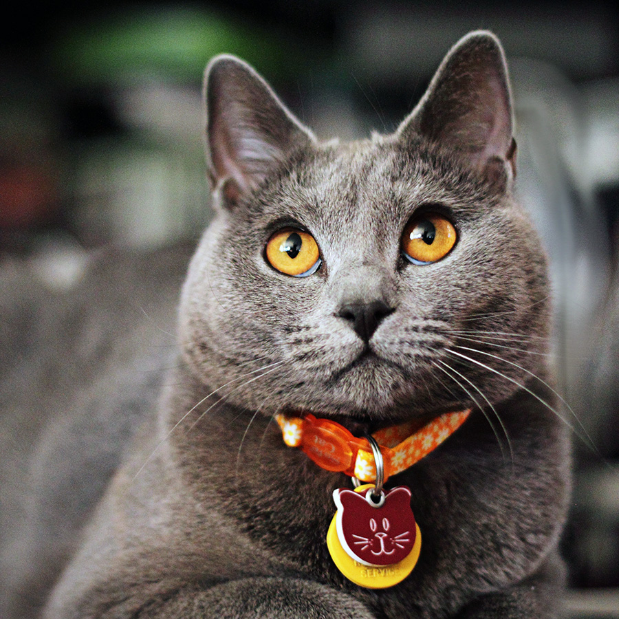 Il gatto certosino: una razza con oltre 1000 anni di storia
