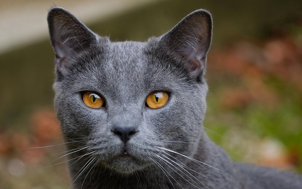 Gatti Certosini
