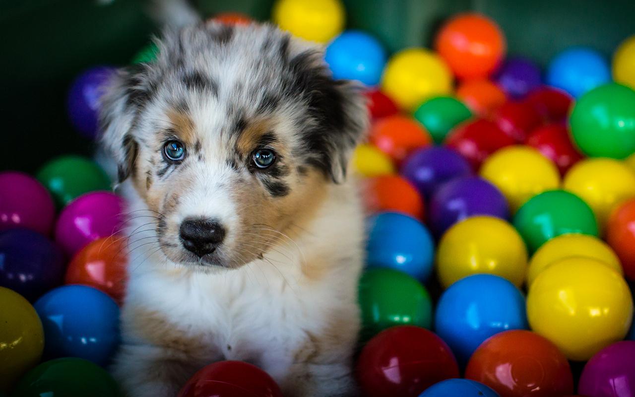 Il pastore australiano un tesoro da tenere stretto for Cani da tenere in casa