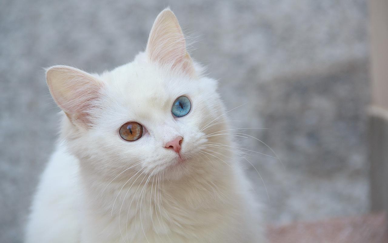Il gatto d'Angora: l'eleganza a pelo lungo