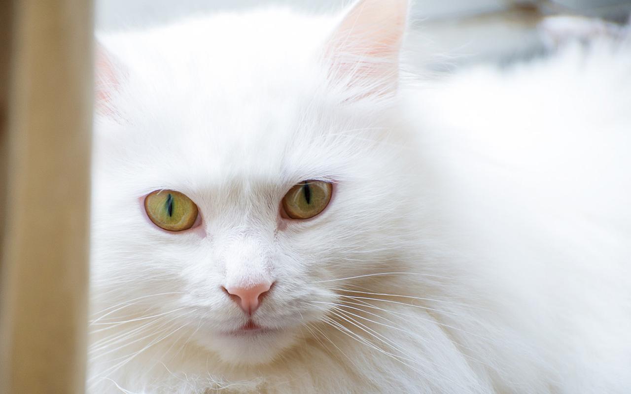 Il gatto d'Angora: l'eleganza a pelo lungoIl gatto d'Angora: l'eleganza a pelo lungo