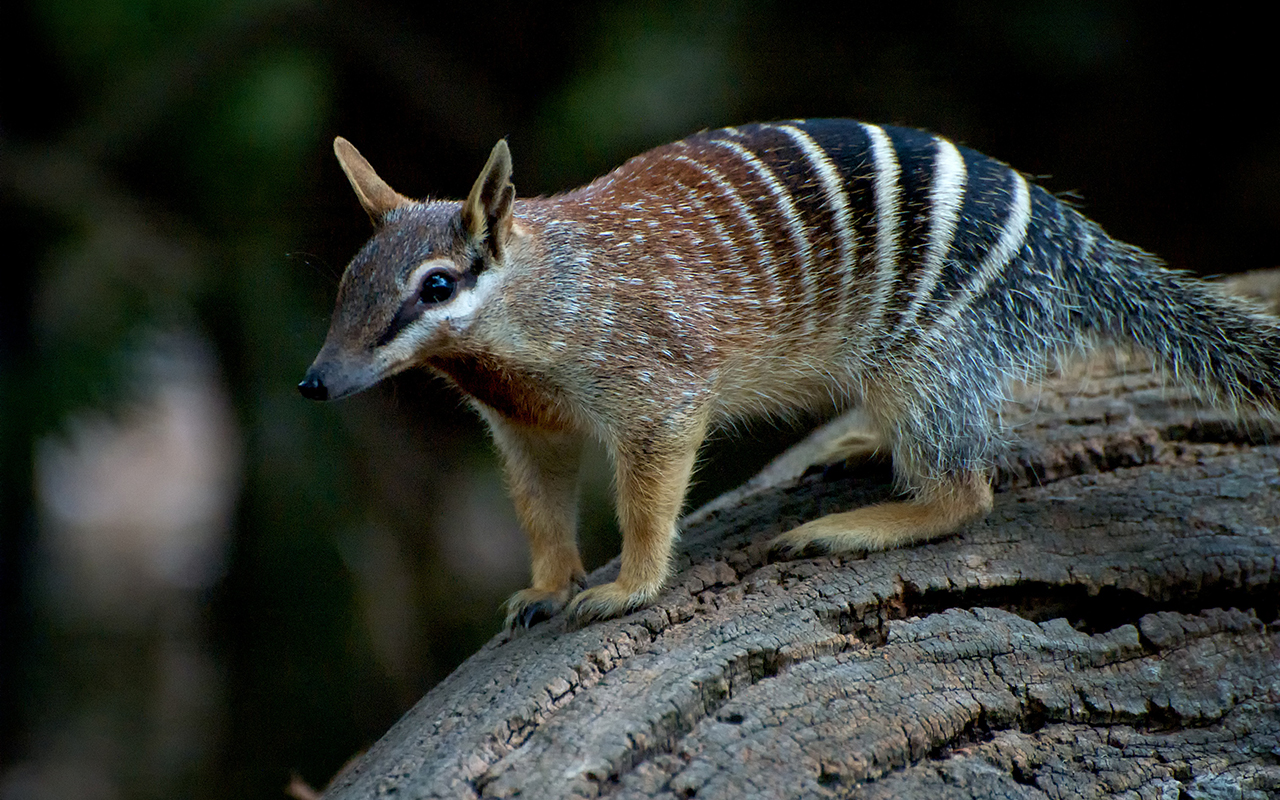 animali_australiani_animali_pucciosi_numbat
