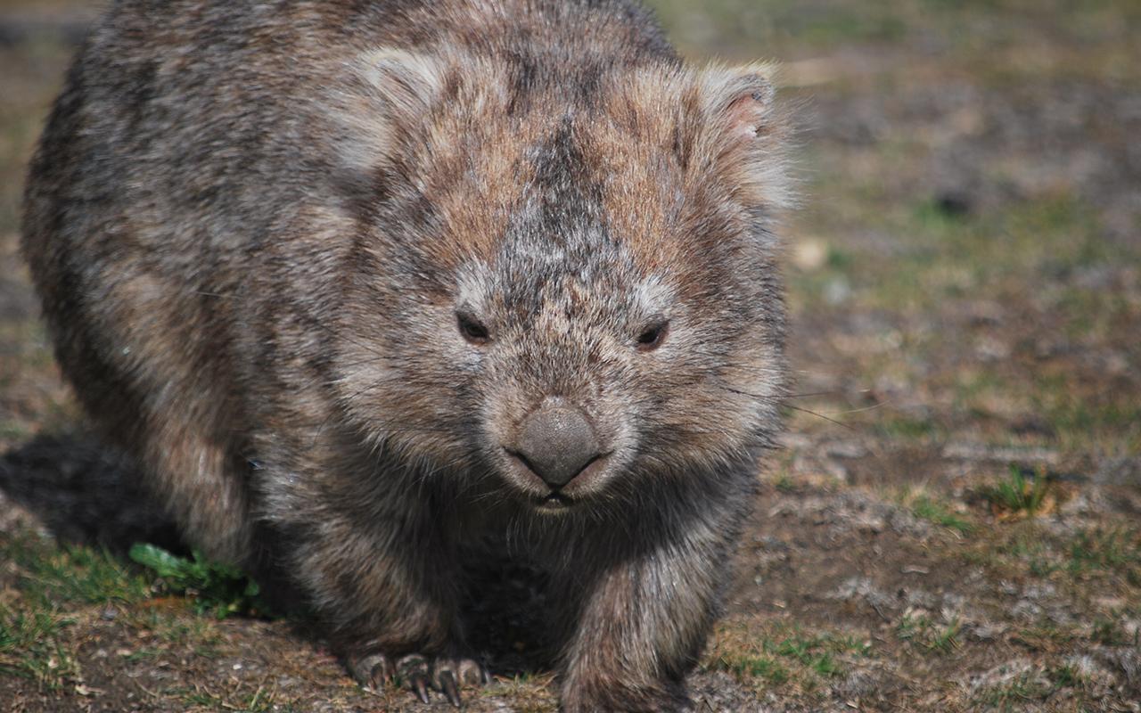 animali_australiani_animali_pucciosi_vombato_wombat
