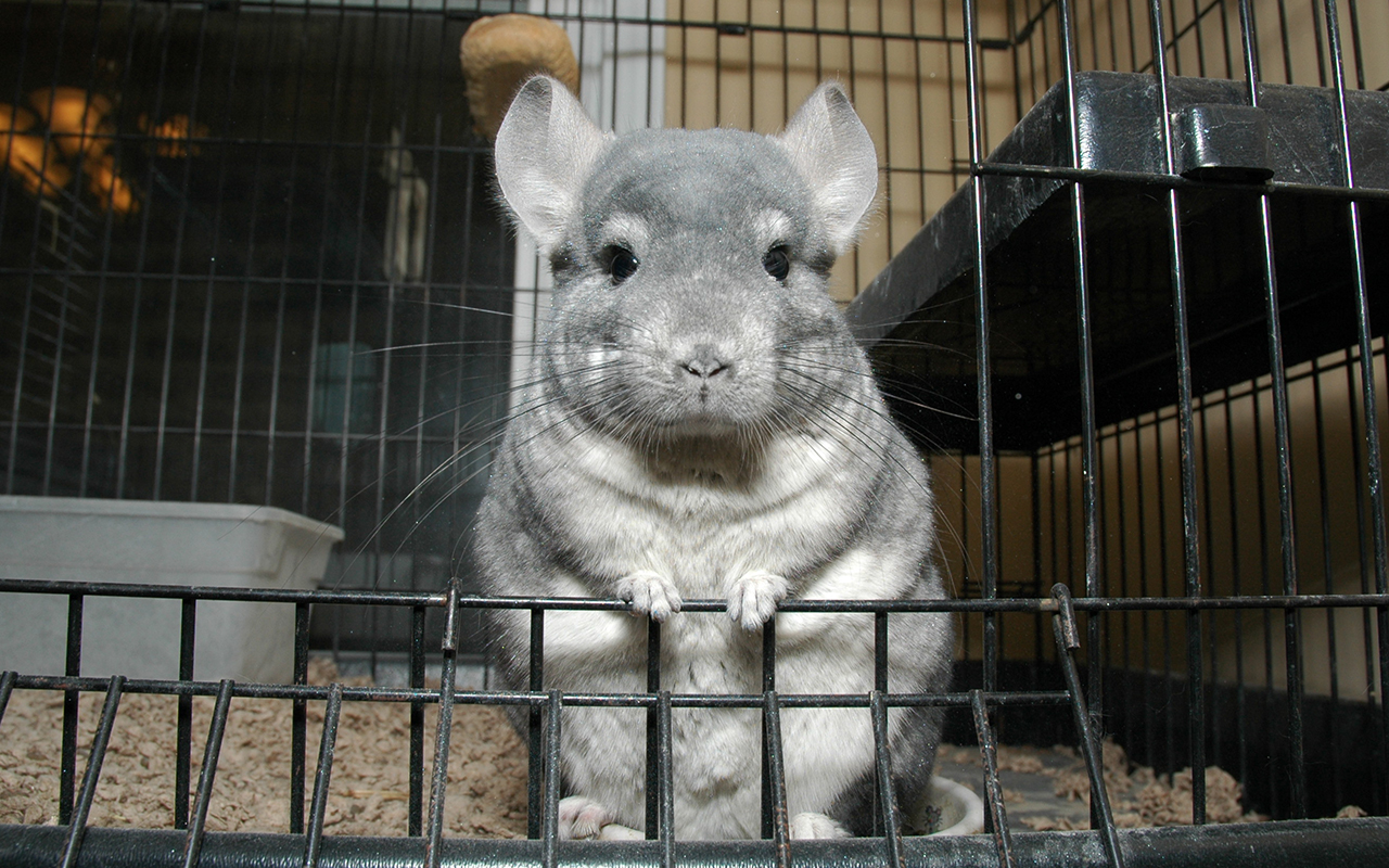 10 cose da sapere sul cincill animali pucciosi for Animali pucciosi