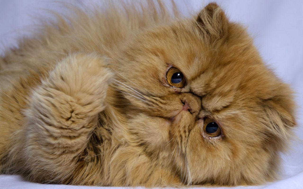 Il Gatto Persiano Il Pelo Lungo Per Eccellenza2 Animali Pucciosi