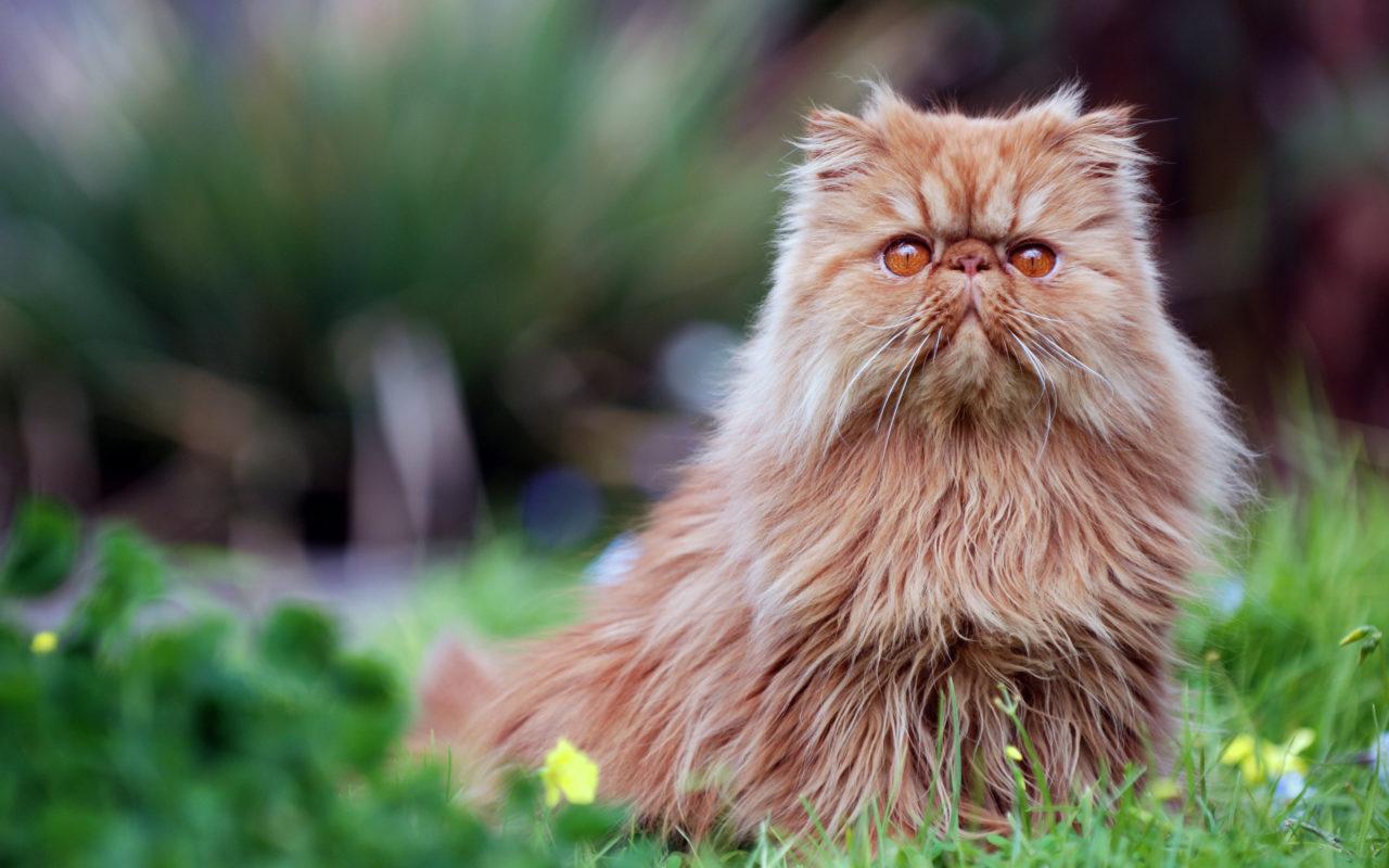 Il Gatto Persiano Il Pelo Lungo Per Eccellenza Animali Pucciosi