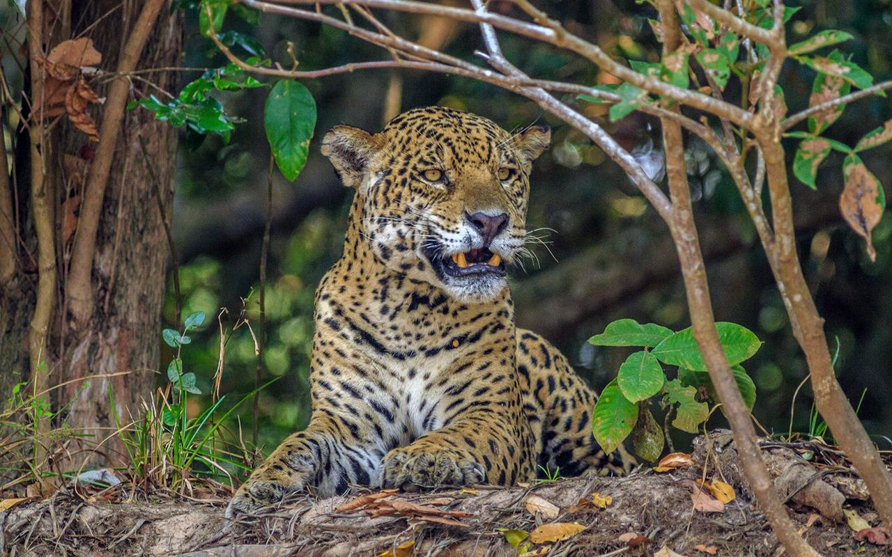 Felidi selvatici: i più belli in natura