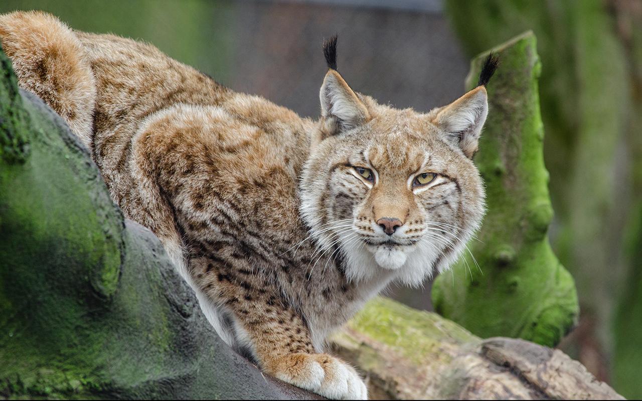 Felidi selvatici i pi belli in natura animali pucciosi for Animali pucciosi