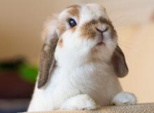 Coniglio ariete: tutte le razze a confronto!
