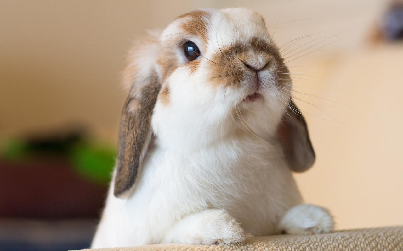 Coniglio ariete tutte le razze a confronto animali for Animali pucciosi