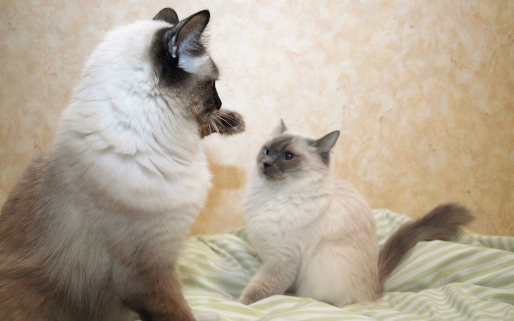 Gatti colourpoint scopriamo le razze animali pucciosi for Animali pucciosi
