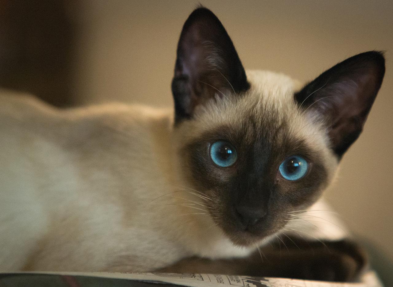 Gatti colourpoint: scopriamo le razze