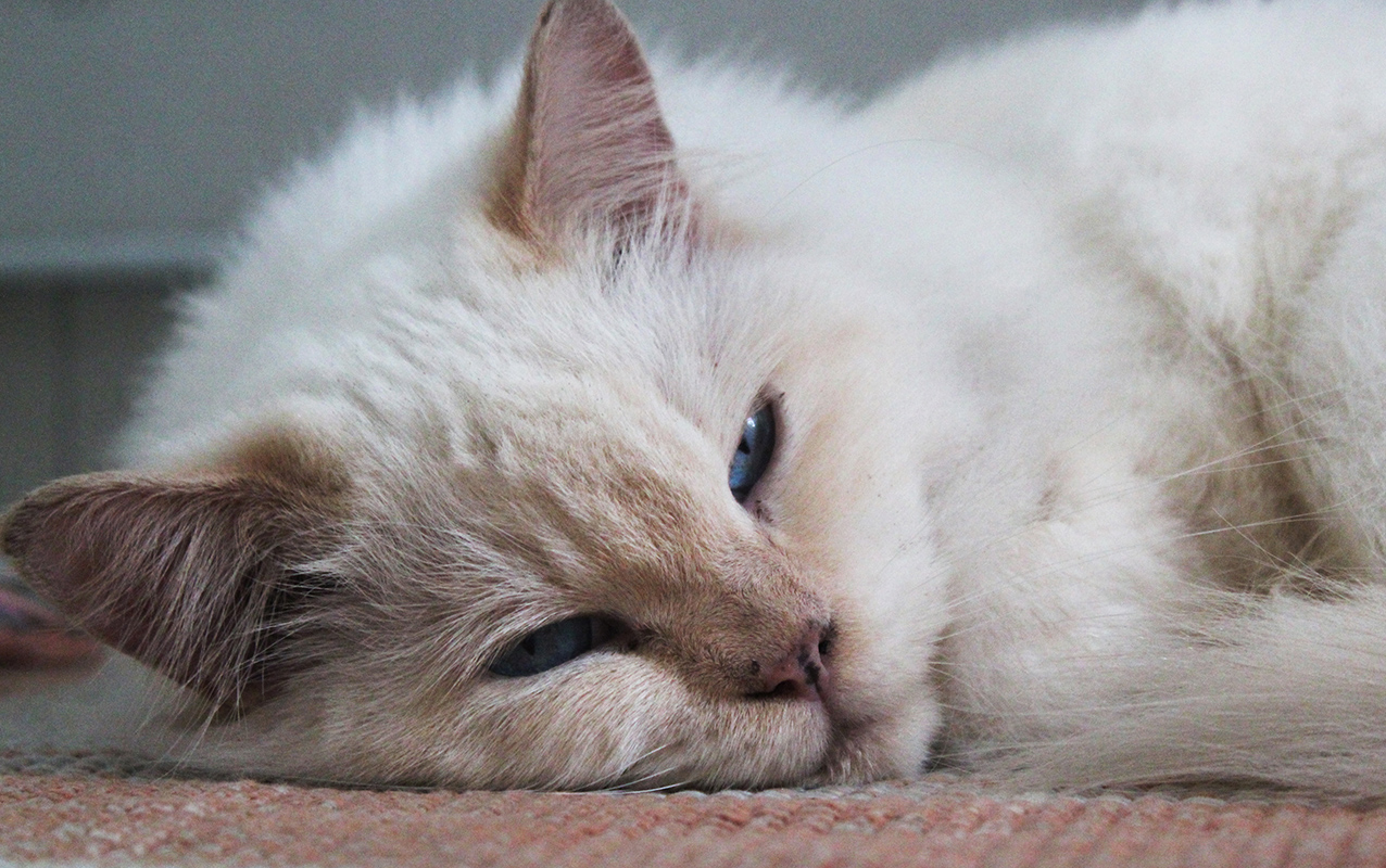 Cucce invernali per gatti: un caldo letto anche per loro!