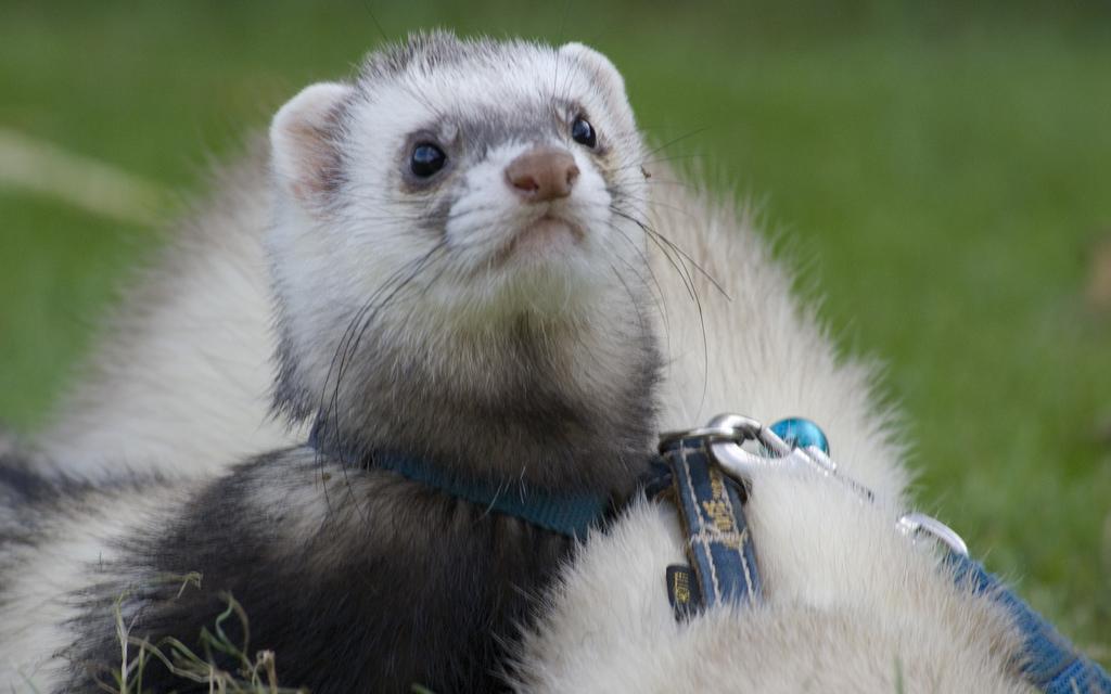 Furetto 10 cose da sapere prima di adottarlo animali for Animali pucciosi
