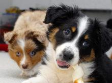 Mi piacciono i cani col mantello Merle! Ma cos'è?