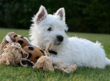 West Highland White Terrier: musetto buffo e cuore tenero