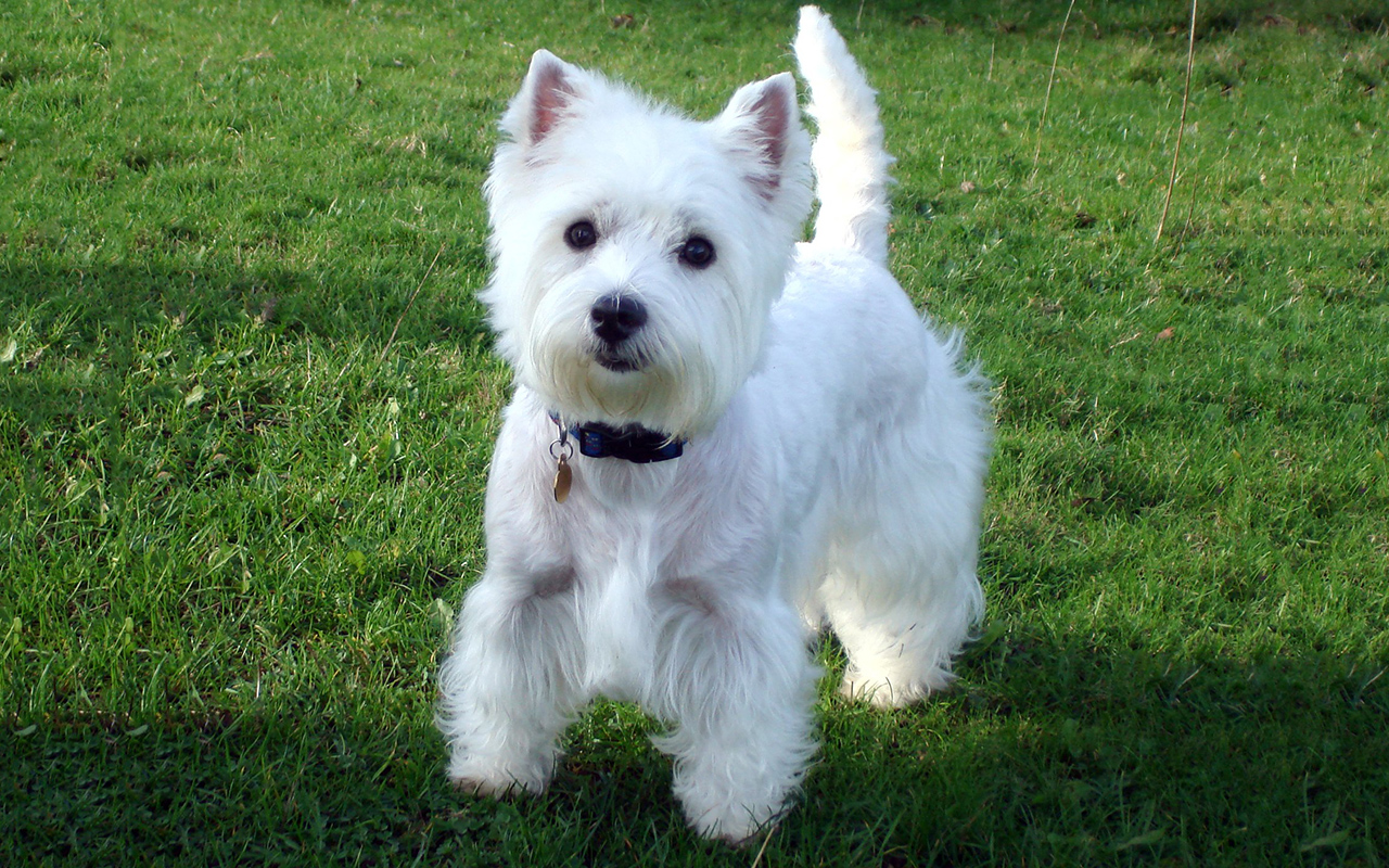West Highland White Terrier: musetto buffo e cuore tenero