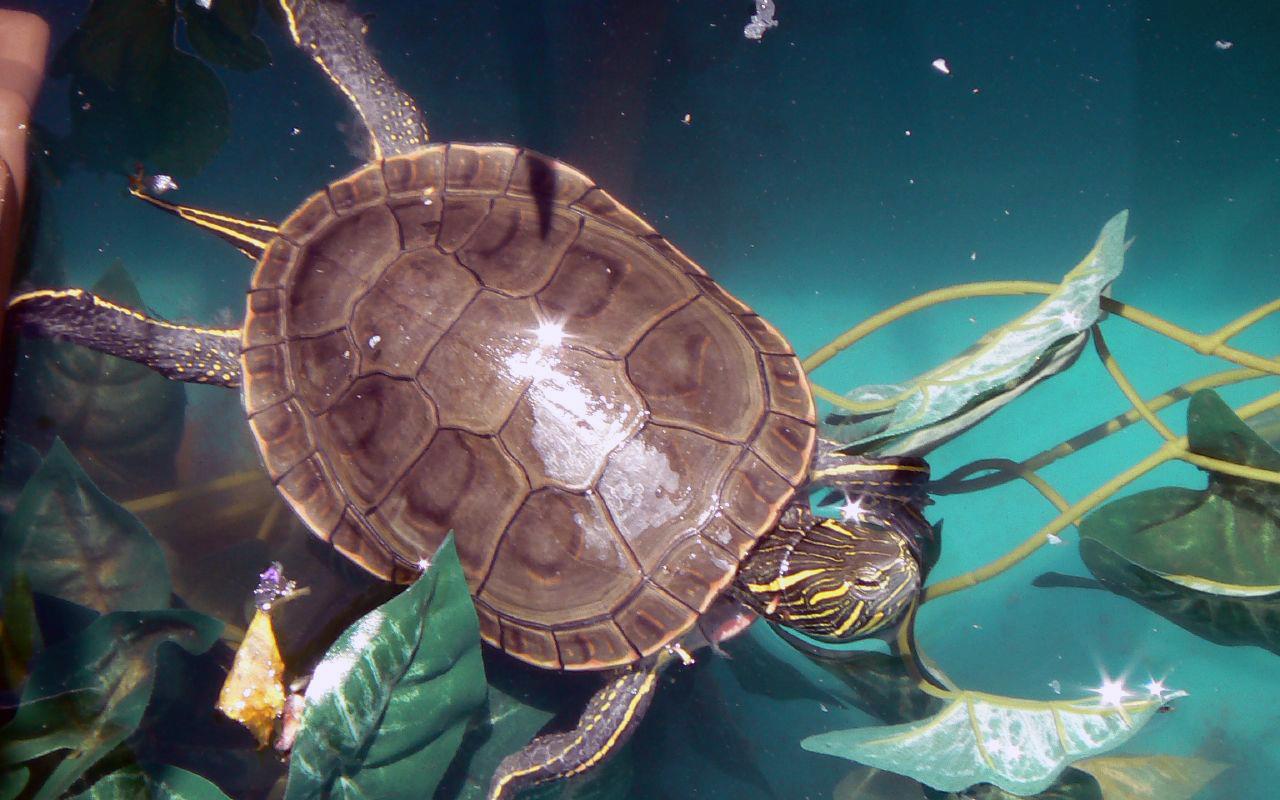 Tartarughe d 39 acqua dolce primi passi per tenerle in casa for Vasca per tartaruga acquatica