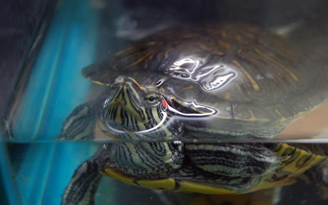 Tartarughe d'acqua dolce, primi passi per tenerle in casa
