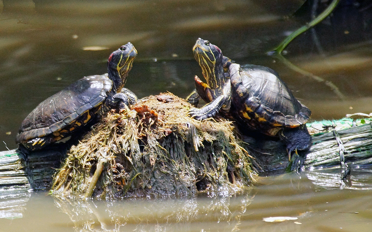 Tartarughe d 39 acqua dolce primi passi per tenerle in casa for Lago per tartarughe
