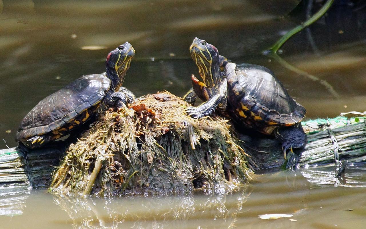 Tartarughe d 39 acqua dolce primi passi per tenerle in casa for Laghetto tartarughe esterno