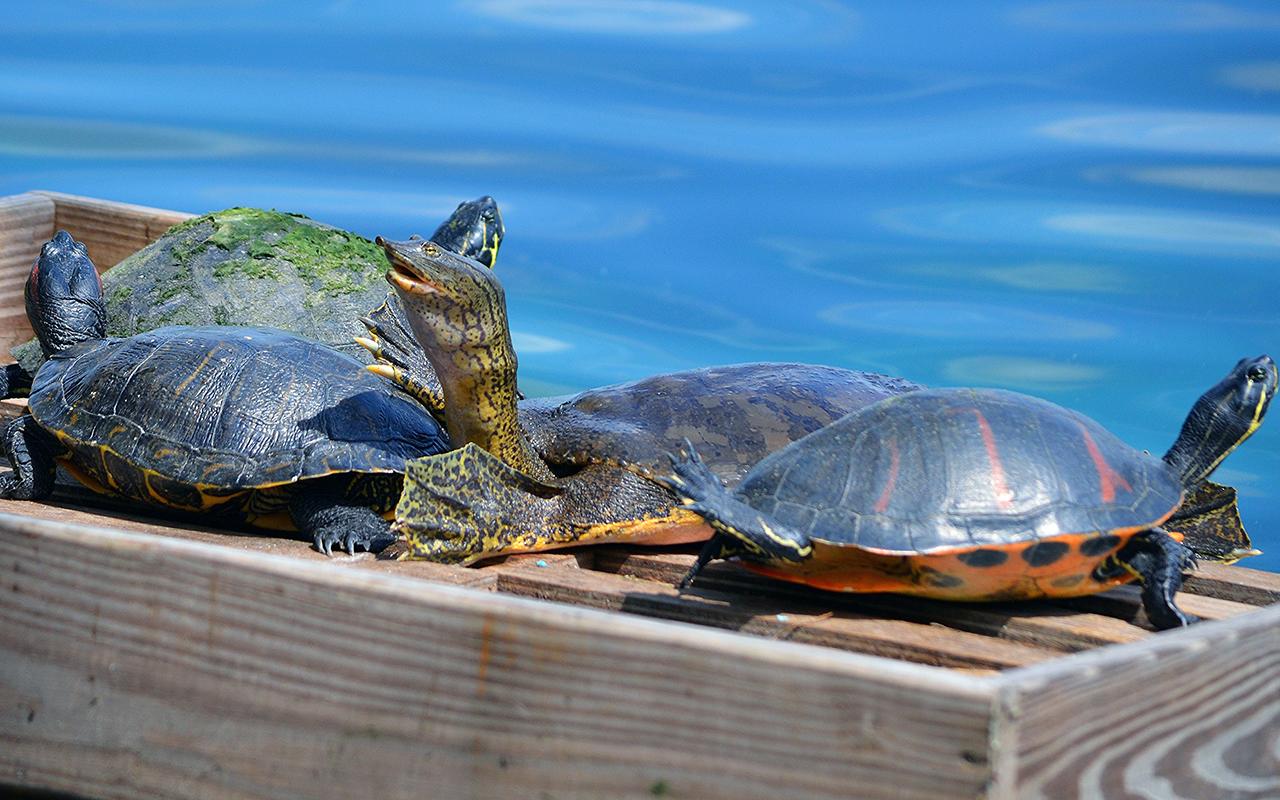 Come Badare alle Tartarughe d'Acqua Dolce: 9 Passaggi