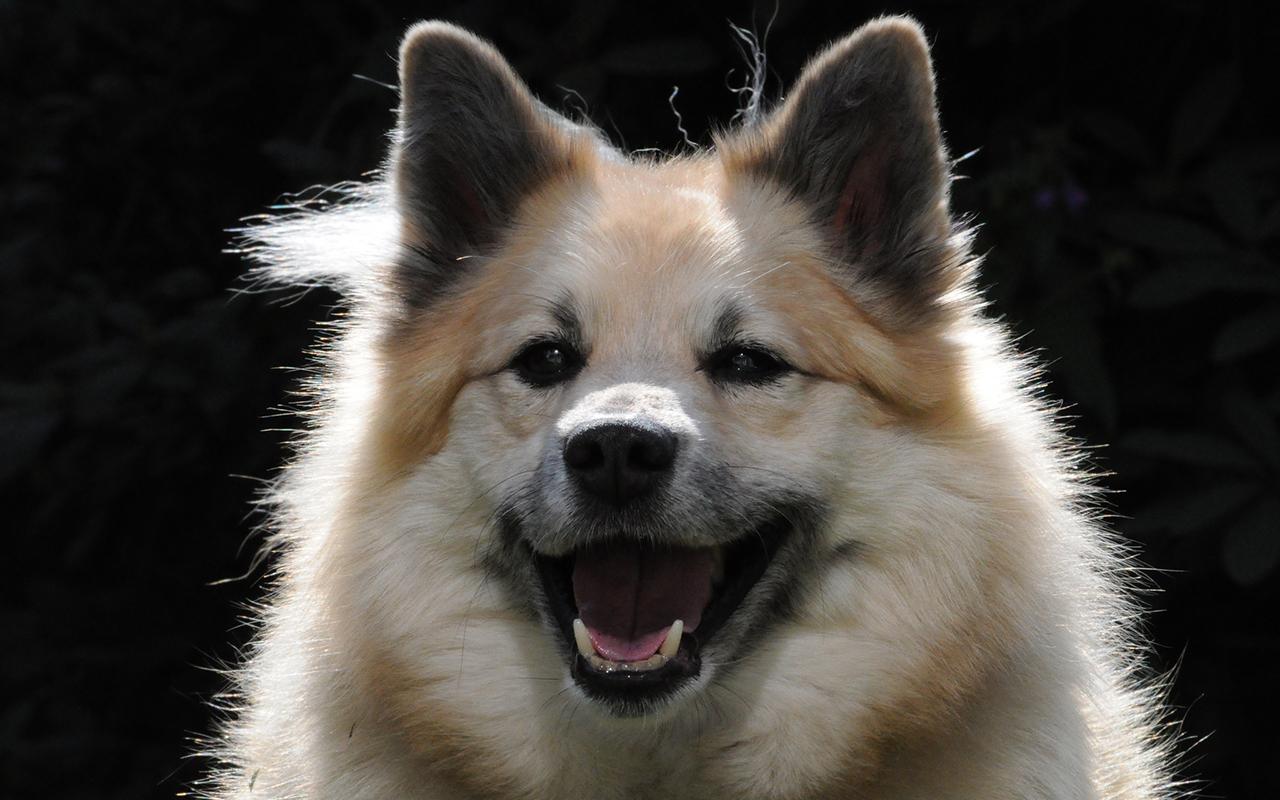 Cani nordici da slitta tutte le razze a confronto for Animali pucciosi