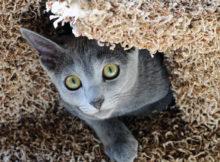 Il gatto Blu di Russia, la razza degli Zar