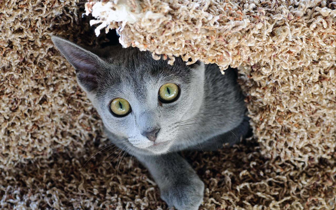 Il gatto blu di russia la razza degli zar animali pucciosi for Animali pucciosi