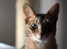Il gatto abissino, dai faraoni fino ad oggi