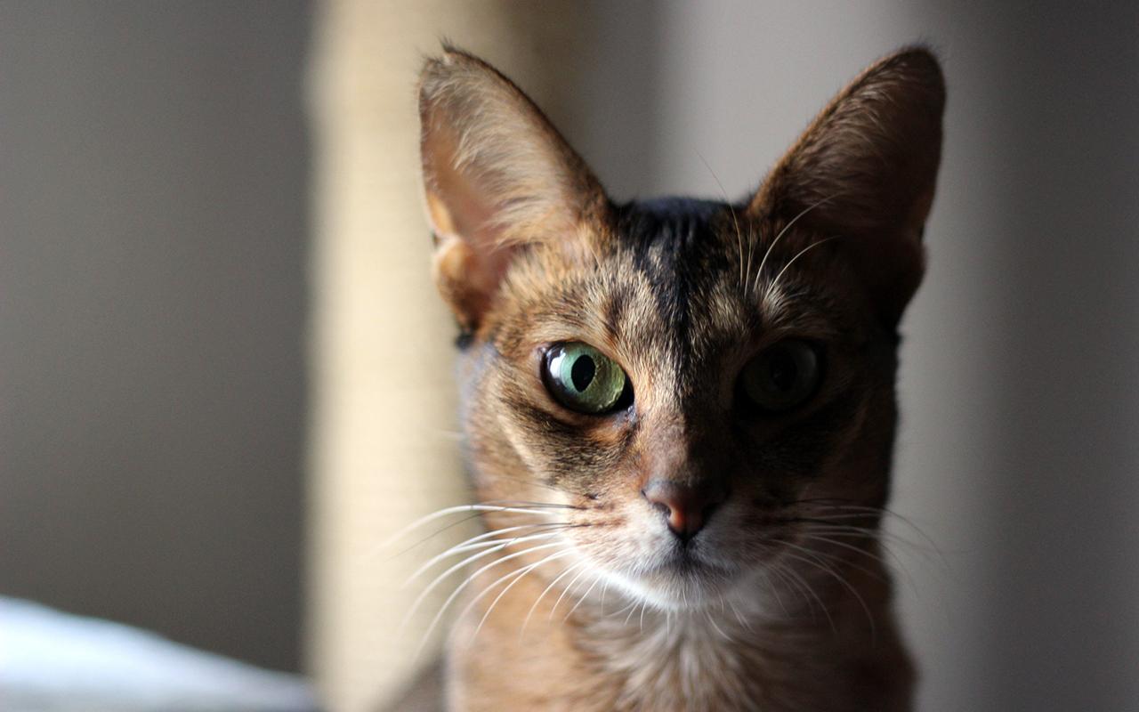 Gatto abissino animali pucciosi 3 animali pucciosi for Animali pucciosi